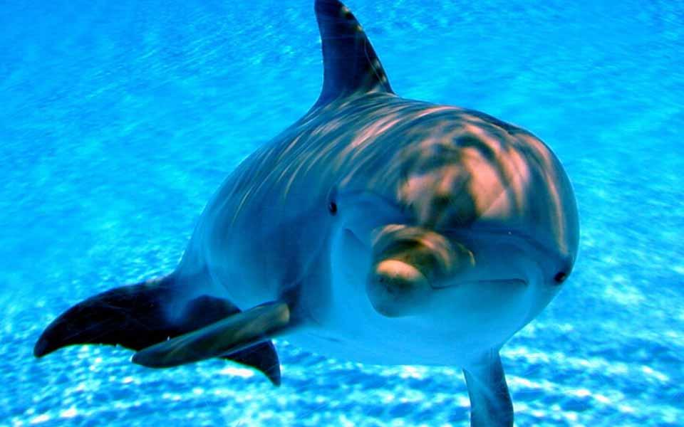 dolphin1
