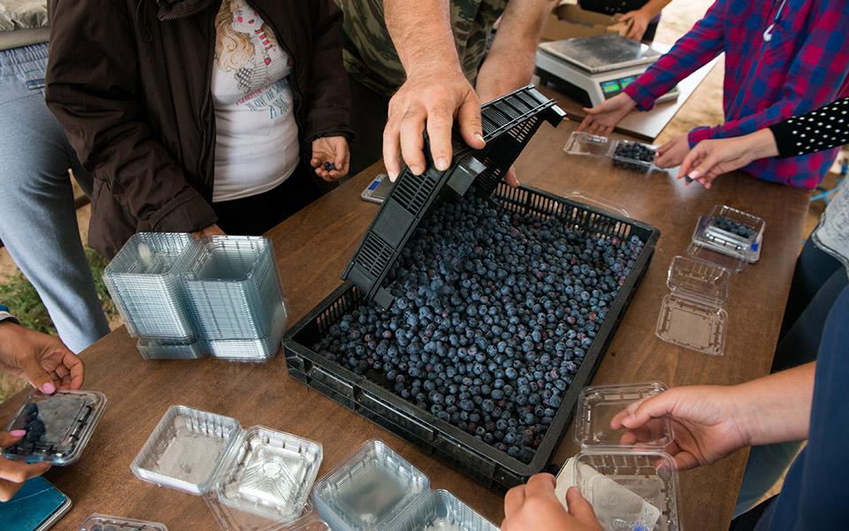 blueberry-anargiri-4