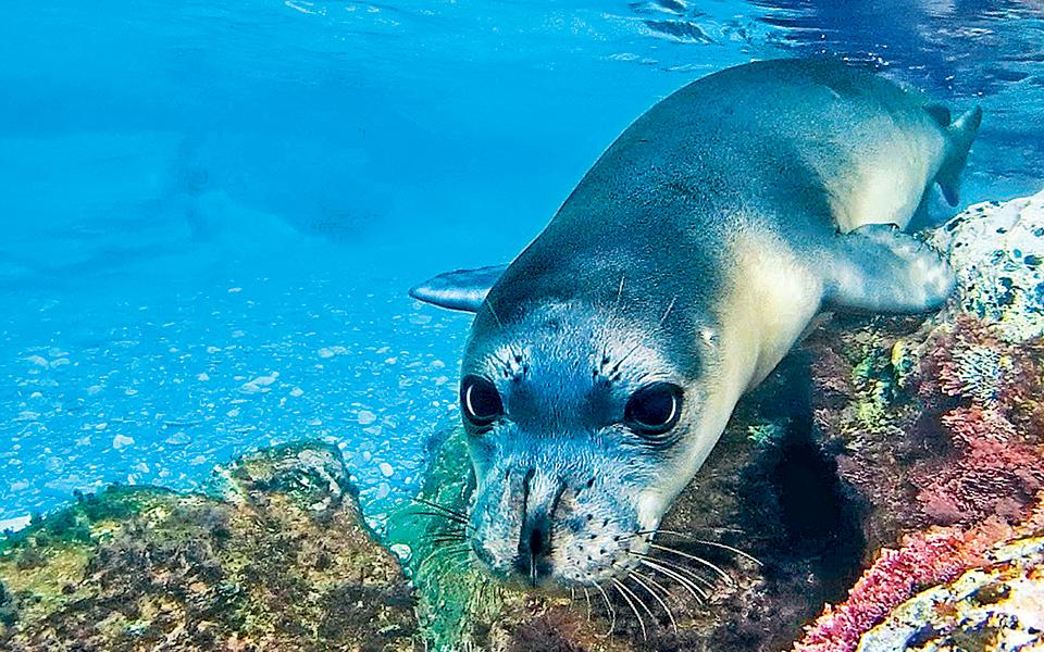 Η μεσογειακή φώκια στην Αλόννησο δεν είναι πλέον… μονάχη   Η ΚΑΘΗΜΕΡΙΝΗ