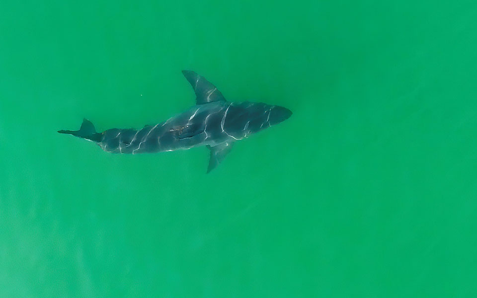 2020-07-29t160626z_144564517_rc243i9dp5g7_rtrmadp_3_california-sharks-drones