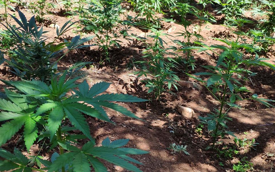 cannabis-intime
