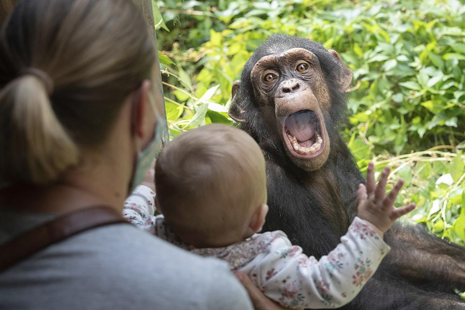 Αν η έκφραση του χιμπατζή συνοδεύεται και από τα συνηθισμένα ουρλιαχτά τους τότε το μωρό της φωτογραφίας μάλλον δεν θα πατήσει ξανά σε ζωολογικό κήπο.