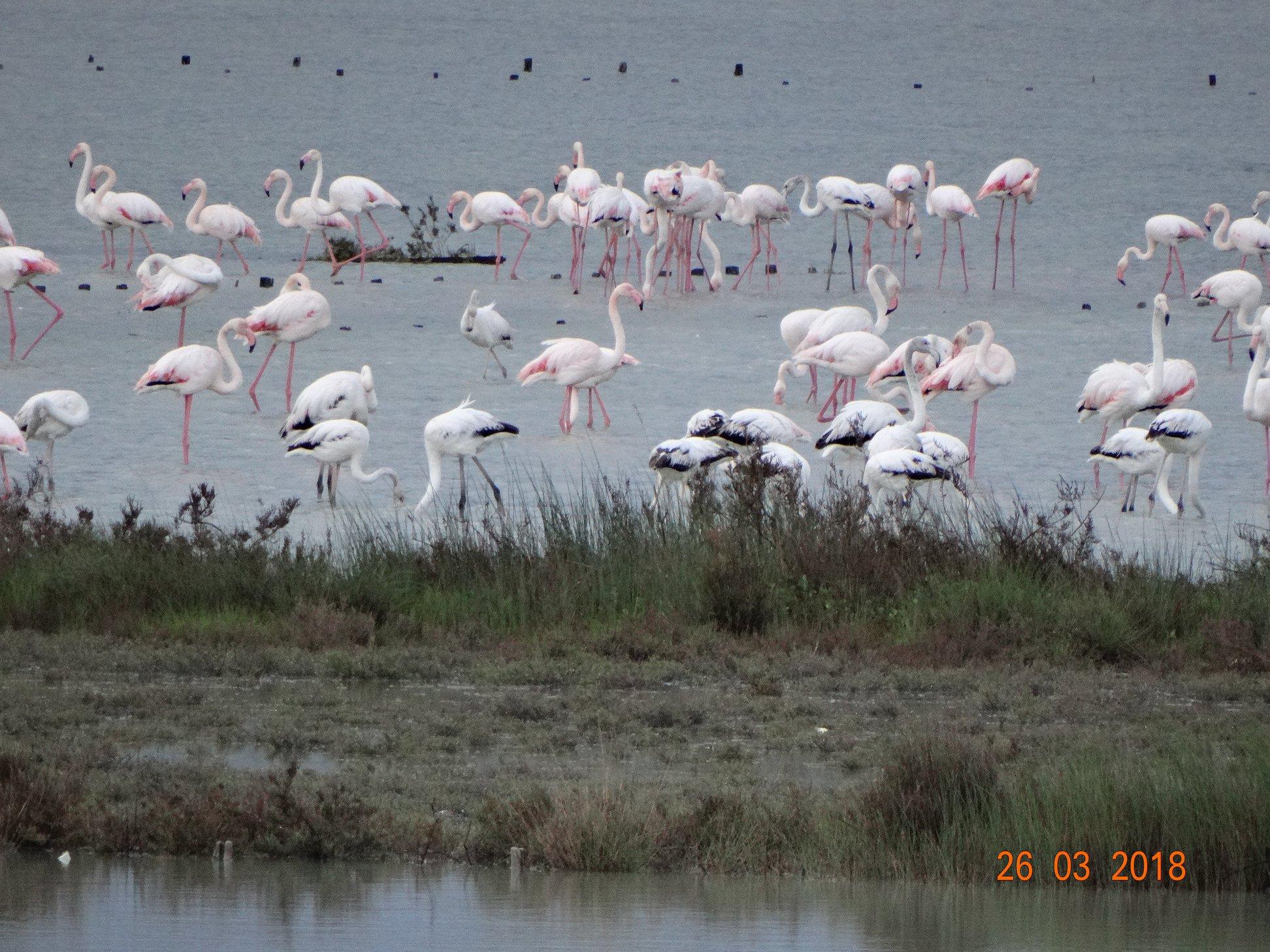 entyposiakes-eikones-apo-tin-afixi-ton-roz-flamingko-sti-limnothalassa-tis-leykimmis1