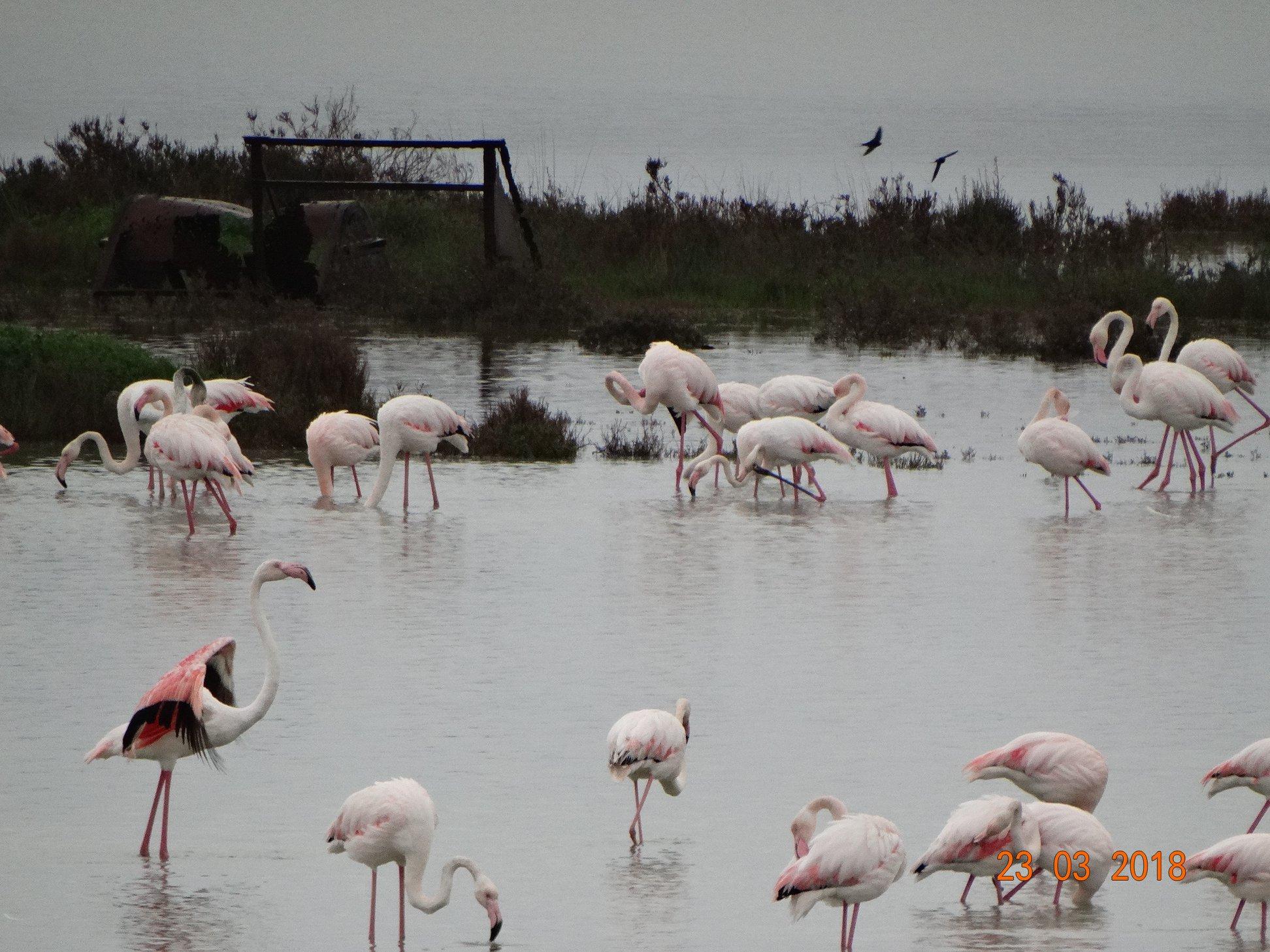 entyposiakes-eikones-apo-tin-afixi-ton-roz-flamingko-sti-limnothalassa-tis-leykimmis2