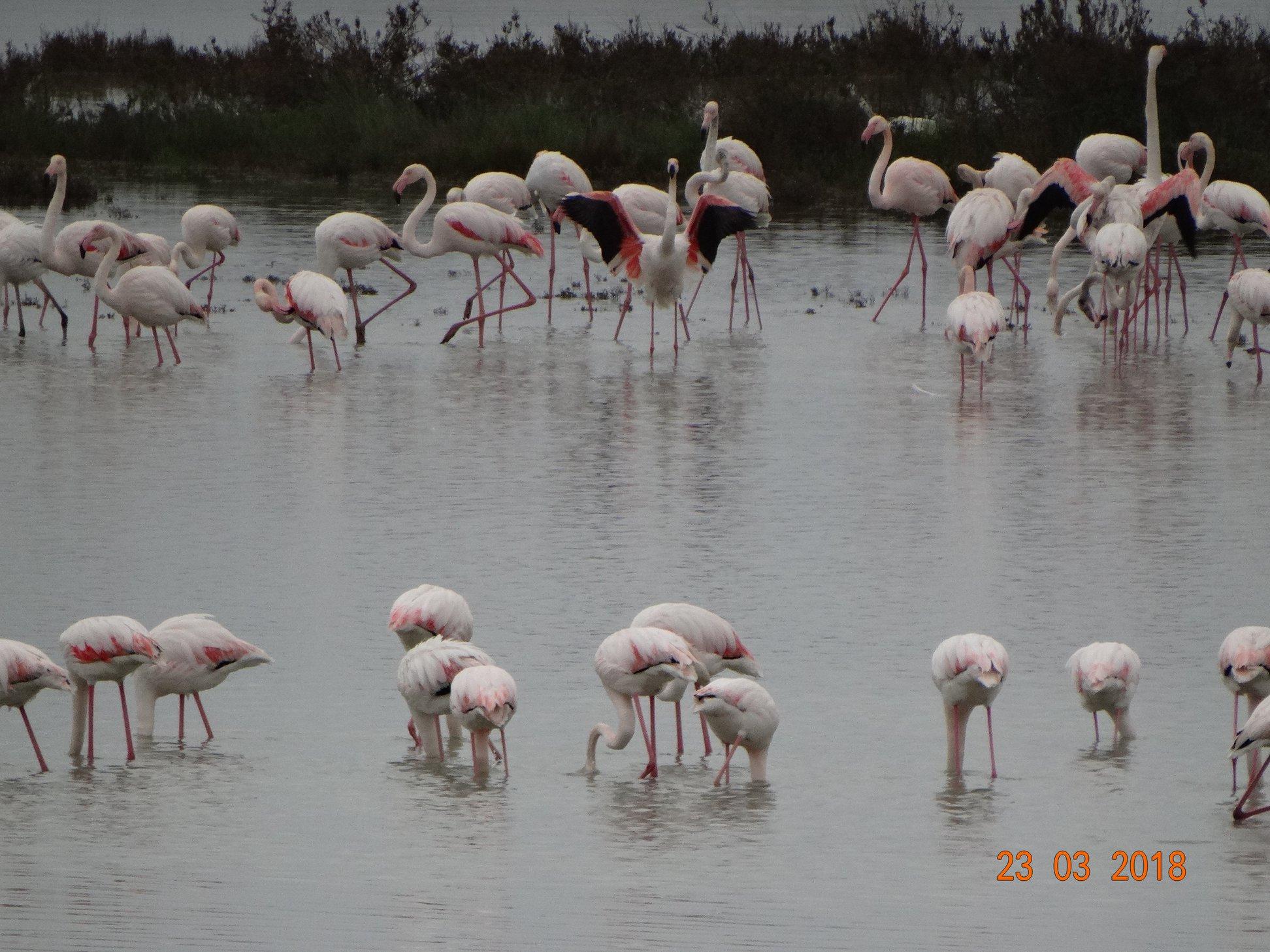 entyposiakes-eikones-apo-tin-afixi-ton-roz-flamingko-sti-limnothalassa-tis-leykimmis3