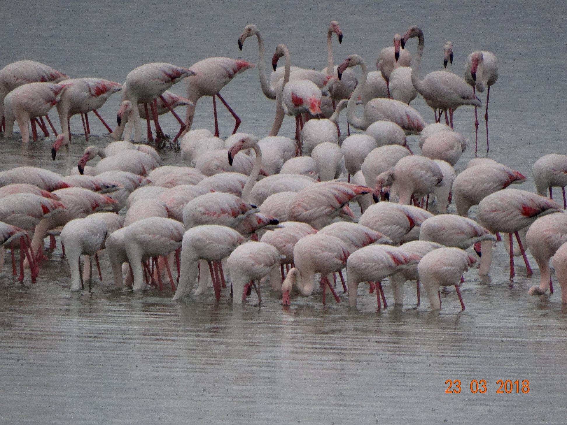 entyposiakes-eikones-apo-tin-afixi-ton-roz-flamingko-sti-limnothalassa-tis-leykimmis5