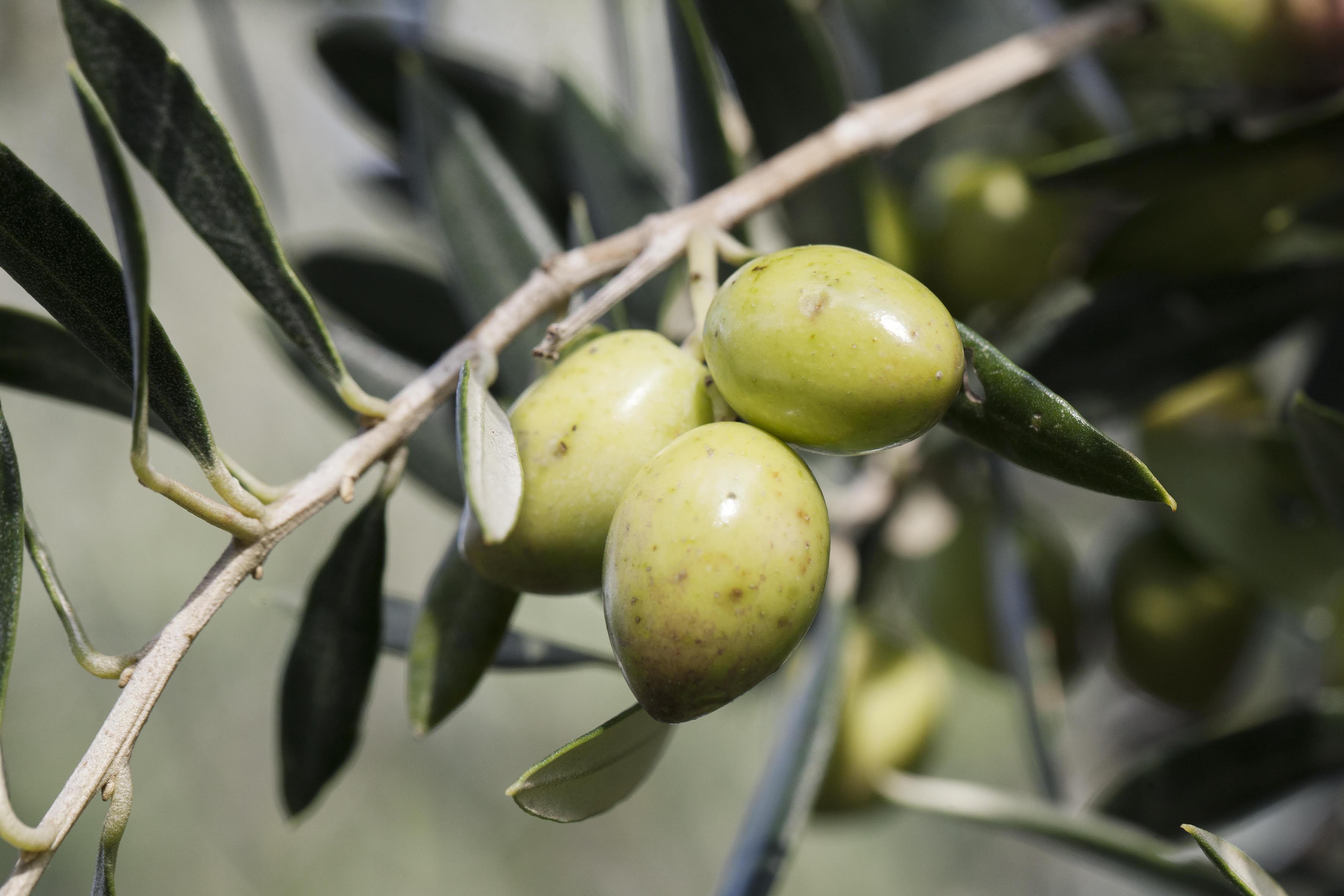 oi-neoi-kanoyn-to-elaiolado-nektar1