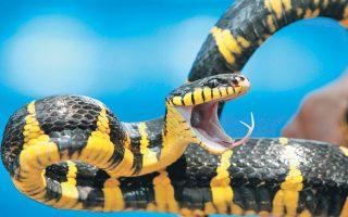 Νέα έρευνα, η οποία μελέτησε το εσωτερικό των αυτιών του φιδιού, ενισχύει την άποψη ότι τα σημερινά φίδια προέρχονται από χερσαίους προγόνους που ζούσαν υπογείως.