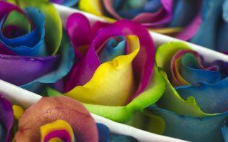 Πρόβες χρώματος. Πλησιάζουν οι μέρες για τον εορτασμό του Αγίου Βαλεντίνου και τα ρόδα έχουν πάρει τον δρόμο των αγορών. Ανάμεσα στα παραδοσιακά κατακόκκινα άνθη, φιγουράρουν καινούργια χρώματα και ποικιλίες όπως τα εικονιζόμενα από το Εκουαδόρ, που σίγουρα θα βοηθήσουν κάποιο  νεαρό να βρει τον δρόμο προς την καρδιά της φίλης του. REUTERS/Guillermo Granja