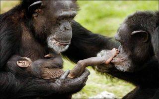 gorillaki-kalei-se-vaftisia0