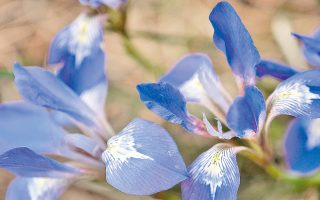 Οι ίριδες –μεταξύ των εμπορευόμενων ειδών– ανήκουν στα αρωματικά και φαρμακευτικά φυτά. Στην Ελλάδα συναντάμε 10 από τα 300 είδη παγκοσμίως.