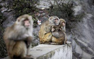 Monkeys huddle together by a roadside to keep warm as it rains in Nadani, at Jammu-Srinagar highway, India, Saturday, Feb. 15, 2014. Hindus believe that feeding monkeys bring them the blessings of Hindu monkey god, Lord Hanuman. (AP Photo/Channi Anand)