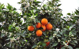 Το φυτοφάρμακο Dimethoate απαγορεύεται να πέσει πάνω στα πορτοκάλια λίγο πριν αυτά κοπούν.