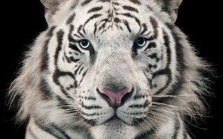 Πορτρέτο λευκής τίγρης από τον Αγγλο φωτογράφο Tim Flach.