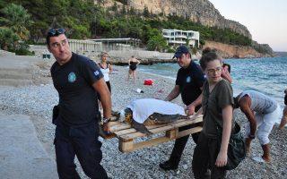 Επιχείρηση διάσωσης μίας χελώνας καρέτα-καρέτα στην παραλία της Αρβανιτιάς.