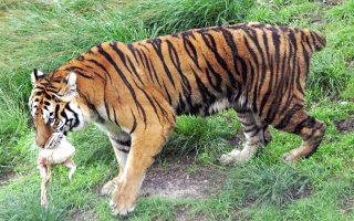 Από τη ζωή στη φύση. Αυτή η κατσιασμένη, τσουρομαδημένη, ακρωτηριασμένη τίγρη δεν είναι πια μαζί μας. Την έλεγαν Αθηνά και ζούσε στον ζωολογικό κήπο των Τρικάλων. Οπως πληροφορούμεθα από τη λεζάντα του πρακτορείου που έστειλε τη φωτογραφία, «η Αθηνά δεν ξύπνησε μετά από νάρκωση που της έγινε, με αποτέλεσμα να φύγει από τη ζωή» ― κοινώς, ψόφησε το ζωντανό. Δεδομένων των συνθηκών της εκδημίας της, όμως, δεν θα ήταν σωστότερο να λέγαμε ότι «εκοιμήθη»; Εν πάση περιπτώσει, Θεός σχωρέσ' την...