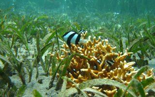 Τη σύγχυση των ενστίκτων σε ψάρια των τροπικών, όπως αυτά τα ψάρια κλόουν στην Παπούα-Νέα Γουινέα, προκαλεί η αύξηση της οξύτητας των ωκεανών.