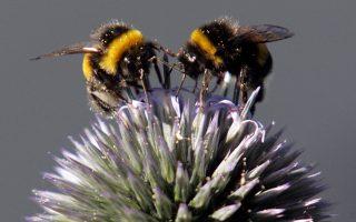 Ηδη από τα τέλη 1990 έχει διαπιστωθεί ότι οι πληθυσμοί των μελισσών παγκοσμίως μειώνονται με πολύ γρήγορους ρυθμούς.