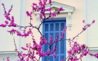 Ανθισμένη κουτσουπιά στην οδό Ιπποκράτους. Η άνοιξη στην Αθήνα.