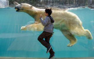 Μαζί με την αρκούδα. Ένα νέο χώρο εγκαινίασε ο ζωολογικός κήπος της Μιλούζ, στην Γαλλία αφιερωμένος αποκλειστικά στις πολικές αρκούδες. Ο νέος χώρος έχει μια διάφανη, ανοιχτή τεχνητή λιμνούλα όπου μπορούν οι αρκούδες να κολυμπούν  και να τις βλέπει ο κόσμος. Αυτή την εγγύτητα απολαμβάνει ο πιτσιρικάς που κατάφερε να τρέχει σε απόσταση αναπνοής από μια πολική αρκούδα. AFP PHOTO / SEBASTIEN BOZON