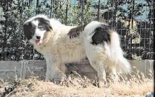 Ο ελλληνικός ποιμενικός σκύλος διαθέτει πολλά από τα αναγκαία προσόντα για να είναι ένας πολύ καλός φύλακας κοπαδιών.