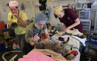 Οι γάτες της Ουάσιγκτον. Αποφασισμένοι να μειώσουν τον αριθμό των αδέσποτων γάτων που εισέρχονται στα κέντρα περίθαλψης ζώων είναι οι υπεύθυνοι της Ουάσιγκτον και κατέφυγαν σε δραστικά μέτρα. Οι γάτες πιάνονται και στειρώνονται πριν αφεθούν και πάλι ελεύθερες.  AFP PHOTO/Mandel NGAN