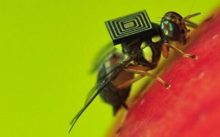 A handout photo obtained from CSIRO on March 21, 2014 shows a Queensland fruit fly with a 1.5-millimetre sensor attached to its back. Scientists have hit on a new way to combat one of Australia's worst pests -- create a male-only line.  The eight millimetre-long Queensland fruit fly is so prevalent and adept at destroying crops it is threatening the nation's 6.2 billion USD (6.9 billion AUSD) horticultural industry. Australian scientists at the government-run Commonwealth Scientific and Industrial Research Organisation are now exploring how feeding certain genes to larvae can alter the DNA so the flies grow into sterilised males whether they start out as male or female.  AFP PHOTO/CSIRO   ----EDITORS NOTE ----RESTRICTED TO EDITORIAL USE MANDATORY CREDIT