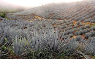 Φυτείες 'αγαύης' πάνω στους λόφους του ηφαιστείου 'Τεκίλα', στην πολιτεία του Χαλίσκο (Jalisco) στο Μεξικό. Μνημείο Παγκόσμιας Κληρονομιάς της UNESCO. (Φωτογραφία: EPA)