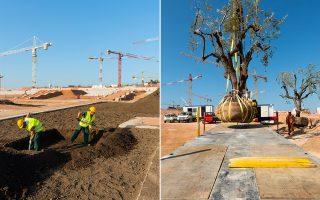 Την περασμένη Παρασκευή 23 Μαΐου φυτεύτηκε το πρώτο δέντρο στο Πάρκο Σταύρος Νιάρχος: μια ελιά ύψους 3,5 μ. στην περιοχή του Μεσογειακού Κήπου.