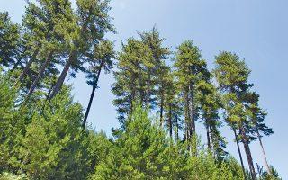 Το ΜΓΦΙ διακρίθηκε φέτος για την προσφορά του στην προστασία της φύσης με το έργο για την αποκατάσταση των δασών Μαύρης Πεύκης στον Πάρνωνα. (Pinus Nigra, Αρχείο ΕΚΒΥ / Λ. Λογοθέτης)
