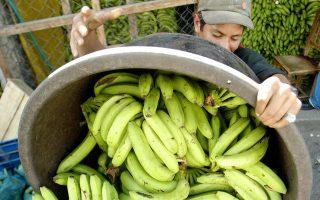 Αυτές οι μπανάνες, που κόπηκαν σε φυτεία στην πρωτεύουσα της Ονδούρας, Τεγκουσιγκάλπα, θα εξαχθούν στην Ευρώπη.