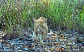 Για όλα φταίνε οι γάτες. Μια νέα μελέτη στην Αυστραλία φέρνει τα πάνω κάτω σε ό,τι αφορά τις γάτες. Λίγο ως πολύ μια μελέτη κατηγορεί τις άγριες γάτες για την εξαφάνιση αυτόχθονων θηλαστικών και προειδοποιεί ότι τουλάχιστον 100 είδη κινδυνεύουν με αφανισμό από αυτές. Τελικά δεν ήταν μόνο οι άποικοι που κουβαλούσαν αρρώστιες και αποδεκάτιζαν τους ιθαγενείς πληθυσμούς (στην Αμερική) είναι και τα κατοικίδιά τους που αποδεικνύονται ότι ήταν επικίνδυνα.  AFP PHOTO / CHARLES DARWIN UNIVERSITY
