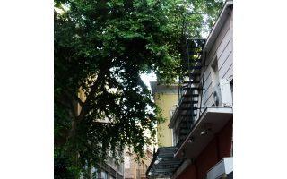 Το μεγάλο πλατάνι στην οδό Μιλτιάδου, στην καρδιά της Αθήνας.