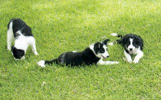 «Ζηλιαρόγατες» φαίνεται να είναι πολλά σκυλιά που προσπαθούν να μονοπωλήσουν το ενδιαφέρον του αφεντικού τους, επιδεικνύοντας, σε κάποιες περιπτώσεις, επιθετικότητα.