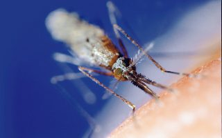Το ανωφελές κουνούπι (φωτ.) εξακολουθεί να αποτελεί μια σημαντική απειλή σε πάρα πολλά μέρη του κόσμου.