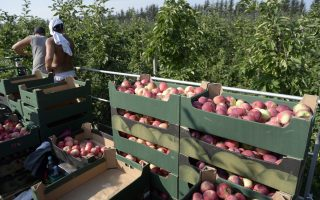 epa04336347 Apples lie in boxes after harvest in Marian Szeliga orchard in Zurawica village, subcarpathian region, Poland, 31 July 2014. Russia's Veterinary and Phytosanitary Surveillance Service (VPSS) announced on 30 July, that they will temporarily restrict most of fruit and vegetable imports from Poland starting from 01 August 2014. The ban also applies to Polish products imported to Russia from third countries. According to Agriculture Ministry figures Russia accounts for only 7 percent of Poland food exports.  EPA/DAREK DELMANOWICZ POLAND OUT