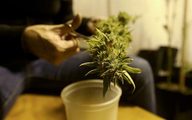 Θα καλλιεργούν κάνναβη για ιατρικούς λόγους