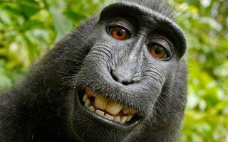 Νομικό γρίφο δημιουργεί η φωτογραφία (selfie) που τράβηξε τον εαυτό του πίθηκος, έχοντας κλέψει μηχανή επαγγελματία φωτογράφου στην Ινδονησία. Ο Βρετανός φωτογράφος ζήτησε την απόσυρση της φωτογραφίας από το Διαδίκτυο, αλλά η νομική υπηρεσία της Wikipedia τού απάντησε ότι τα πνευματικά δικαιώματά της ανήκουν αποκλειστικά στον μαυροκέφαλο μακάκο.