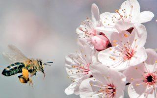 Οπως είδαν οι επιστήμονες, οι άγριες μέλισσες προτιμούν να αναζητούν τροφή σε λουλούδια που έχουν ήδη επισκεφθεί.
