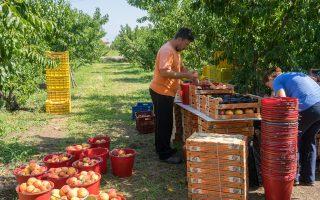 Εργάτες συλλέγουν ροδάκινα σε χωράφι του Νομού Ημαθίας. Αύριο, η Κομισιόν θα παρουσιάσει το σχέδιο για τις αποζημιώσεις.