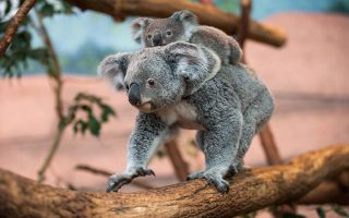 Alinga, the female koala which was born on October 19, 2013 and left her mother's pouch in May 2014 rides on her mother's back in the Zoo parc of Beauval in St Aignan on July 19, 2014. It is a rare koala birth in France. AFP PHOTO / GUILLAUME SOUVANT