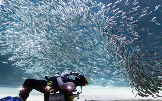 A diver performs with sardines as part of summer vacation events at the Coex Aquarium in Seoul, South Korea, Tuesday, July 29, 2014. (AP Photo/Ahn Young-joon)