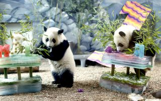 epa04317213 Giant panda cub twins Mei Huan (R) and Mei Lun (L) celebrate their first birthday with specially prepared ice cakes at Zoo Atlanta in Atlanta, Georgia, USA, 15 July 2014. The pair, who were born to mother Lun Lun and father Yang Yang on 15 July 2013, were treated to bamboo, bananas and vanilla flavoring in the ice cakes.  EPA/ERIK S. LESSER