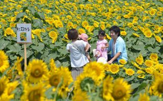 A family stroll in a filed of sunflowers during a three-day sunflower festival in the town of Nogi, Tochigi prefecture, some 70 kms north of Tokyo on July 27, 2014. A total of some 200,000 sunflowers welcomed guests for the summer festival, an annual draw for the small town.     AFP PHOTO / KAZUHIRO NOGI