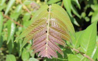 Φρέσκα φύλλα του αείλανθου, με το χαρακτηριστικό κοκκινωπό χρώμα
