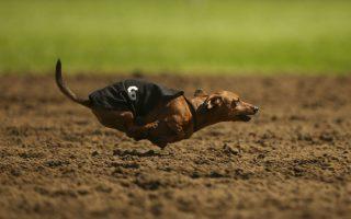 Πύραυλος. Μπορεί να υπολείπεται  σε μέγεθος αλλά ο Spunky έχει την στόφα του μαχητή. Κάθε χρόνο διοργανώνονται οι κυνοδρομίες Wiener Dog Wars, στο Shakopee του Μίσιγκαν. Οι σκύλοι αγωνίζονται σε 7 κούρσες για να κερδίσουν τον τίτλο του Mεγάλου Πρωταθλητή. (AP Photo/The Star Tribune, Jeff Wheeler)