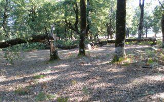 Μόνο ένα δέντρο μπορεί να φέρει κέρδος από 150 έως και 250 ευρώ, ανάλογα με την ποιότητα του ξύλου.