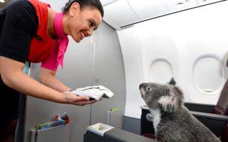 ti-gyreyoyn-tessera-koala-se-ena-aeroplano0