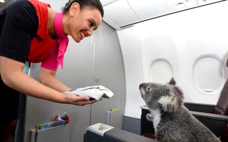 ti-gyreyoyn-tessera-koala-se-ena-aeroplano-2078252
