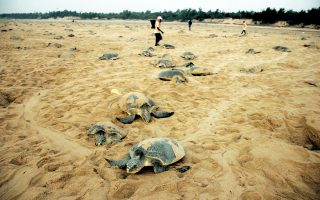 Villagers walk amid Olive Ridley turtles at Rushikullya beach in the eastern Indian state of Odisha March 13, 2015. Hundreds of Olive Ridleys, a species of sea turtles, arrive annually on India's east coast for mass nesting. REUTERS/Stringer (INDIA - Tags: ANIMALS SOCIETY)